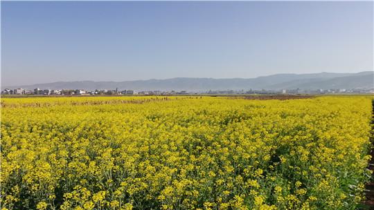 云南:油菜花盛放 沐浴春风万顷黄