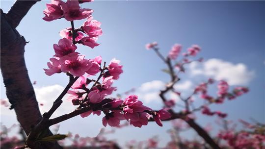 云南蒙自:遍地桃花开 春意涌潮来
